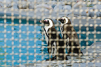 African Penguins recovering at a rehabilitation center, African Penguin & Seabird Sanctuary, Kleinbaai, Western Cape, South Africa