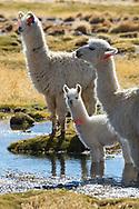 South America, Andes, Altiplano, Bolivia, Villamar Mallcu,Lama glama