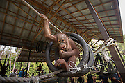 A young Bornean orangutan, Pongo pygmaeus eats peanuts while hanging from a rope and tire swing at the Orangutan Care Center managed by Orangutan Foundation International in Borneo, Indonesia.