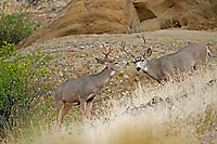 Two Mule Deer feeds together one has already shed its velvet and the other has not.