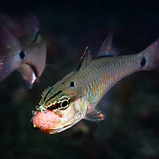 Like other cardinalfish, spotnape cardinalfishes (Ostorhinchus notatus) are paternal mouthbrooders. When a pair of fish are ready to spawn, male and female align side-by-side. As the female pushes out a cluster of eggs, the male fertlizes them, then rapidly moves behind the female to take the eggs into his mouth for brooding. Once the transfer of eggs is accomplished, the male will care for the eggs until maturity. The gestation period varies with water temperature, but hatchout takes place after approximately two weeks. Females in this situation eventually leave the male, but they first exhibit an odd behavior after laying eggs. They appear to harass the male, chasing him and targeting the eggs in his mouth. While avoiding these charges by the female, the male spits out and takes the eggs back into his mouth multiple times, as pictured here. The male has just turned quickly to evade the female (visible in the background) and spit out his mouthful of eggs, sucking them back into his mouth in a fraction of a second. The purpose of this post-spawning behavior is not clear. It appears almost as if the female is attempting to steal the eggs from the male.