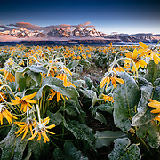 The sun rises over the Tetons and Arrowleaf Balsamroot during a frost covered spring in Wyoming.