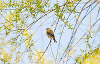 A female American Goldfinch perched on a branch in the shade of a willow tree.