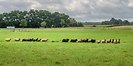 """Sheep Grazing, 8 Hands Farm, Cutchogue, NY, """"is a 28 acre, sustainable family farm on the North Fork of Long Island raising Icelandic Sheep."""""""