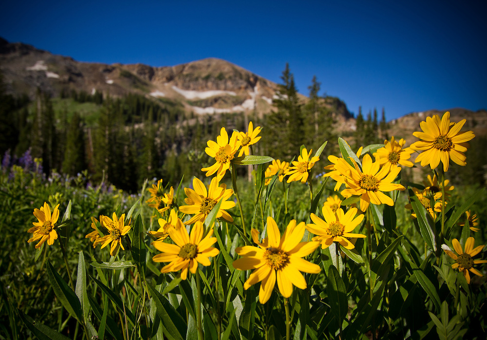 Mountain wildflowers near Albion Basin in the Wasatch Mountains of Salt Lake City, Utah.