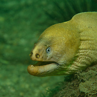 A Moray Eel in Sydney, Australia.
