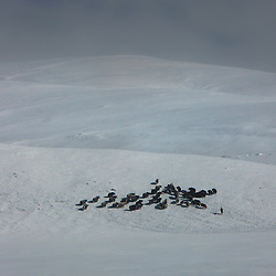 Shepherd taking his yaks for a walk through the snow on the plateau of Tibet.