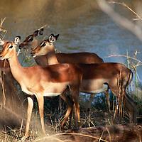 Africa, Zimbabwe, Victoria Falls. Impala.