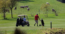 NORMANDY, FRANCE - MAY-01-2007 -  Left to Right: David Sabbag of Australia, Dennis Picard of Normandy, France, (in cart) and Michel Laisnei of Normandy, France (walking)  have some bovine company on hole 4 at the Omaha Beach Golf Club - Course: La Mer (The Sea) - Hole 4 - 334 yards - Par 4.(Photo © Jock Fistick)