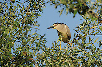 Night heron, Nycticorax nycticorax, Lake Kerkini, Macedonia, Greece