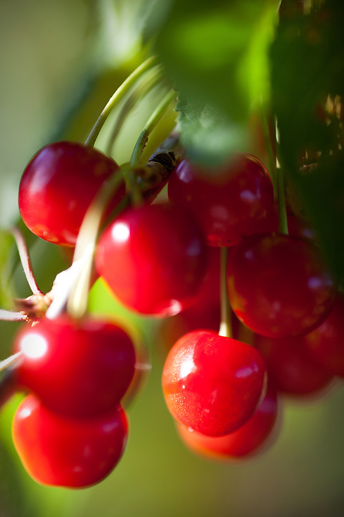 Cherries, Hood River, Oregon