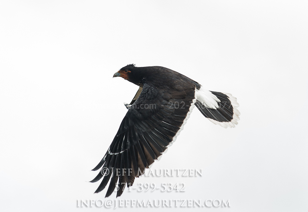 A mountain caracara flies in the Sierra region of Ecuador.