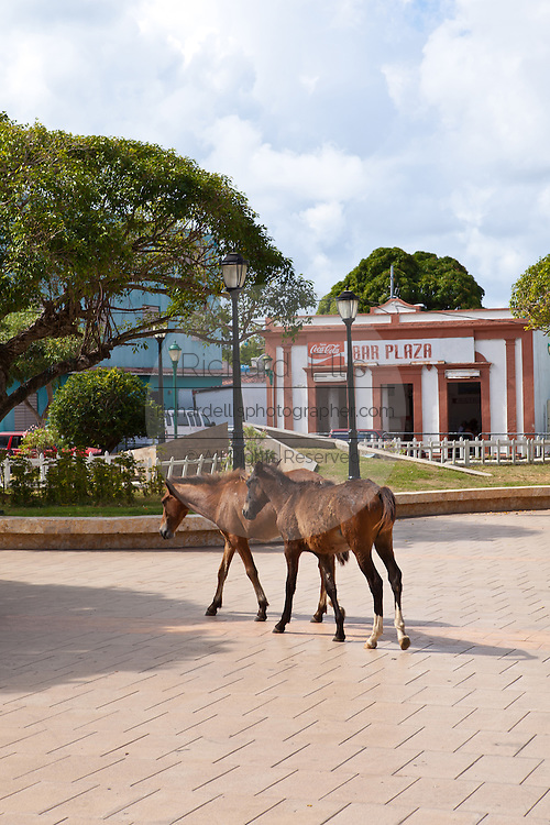 Wild paso fino horses walk through the Isabel Segunda town square on Vieques Island, Puerto Rico.