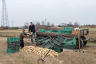 A couple of farmers prepare turnips for winter storage at a field on the outskirts of Warsaw, Poland.