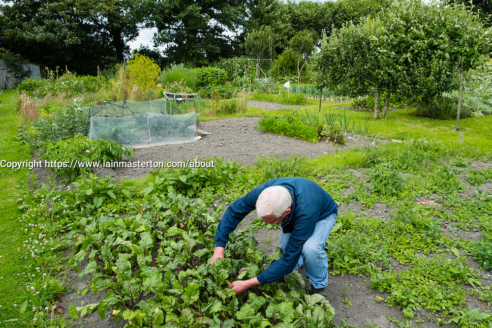 Man tending to vegetable patch in his allotment garden in England United Kingdom