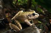 northern barred frog (mixophyes schevilli) large female, Kuranda, North Queensland