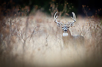 WHITETAIL BUCK IN TEXAS