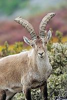Iberian ibex, Capra pyrenaica, in Peña de Francia reserve, Sierra de Gata, Salamanca district, Castilla y León, Spain
