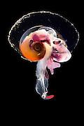 [captive] Sea elephants (Heteropoda (Synonyms Pterotracheoidea) -Heteropod - pelagic marine gastropod mollusc (Oxygyrus keraudreni), Atlantic Ocean, close to Cape Verde | Räuberisch lebende Planktische Meeresschnecke (Oxygyrus keraudreni) Sie ernähren sich besonders von anderen Planktonweichtieren wie den Pteropoden. Ihre Zähne haben die Form einer Radula - ein Förderband aus scharfen Messern, die ein wenig wie ein Ölbohrer wirkt. Atlantischer Ozean, nahe Kap Verde
