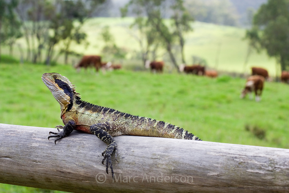 Australian Water Dragon (Physignathus lesueurii) sitting on a wooden fence