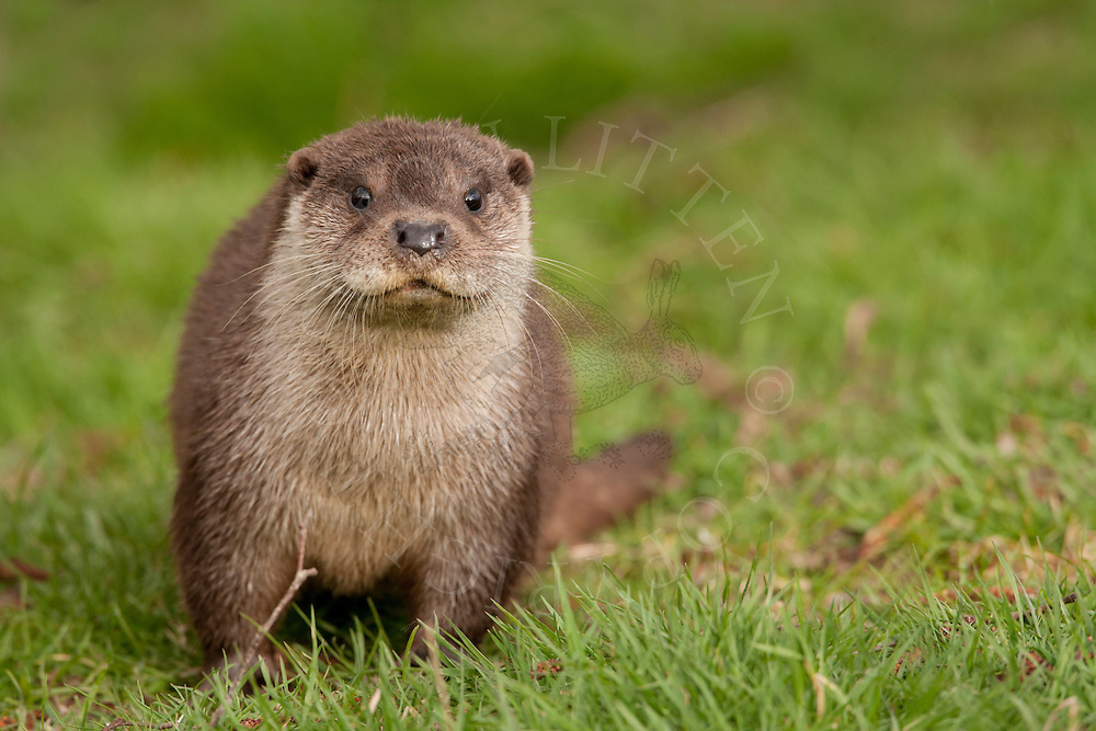 European Otter (Lutra lutra) captive bred cub, UK.