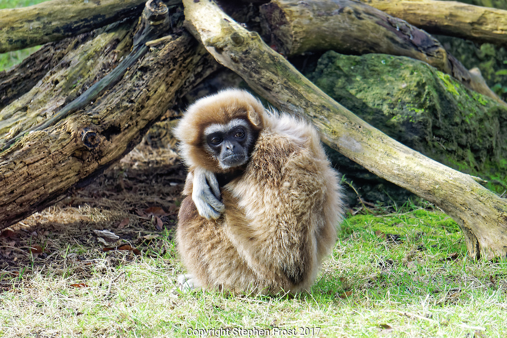 A lar gibbon Hylobates lar, also known as a white-handed gibbon, looking cold and fed up.