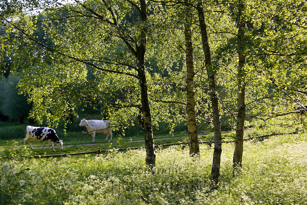 Cows in Oxfordshire field, Swinbrook, England, United Kingdom