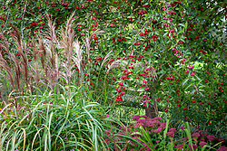 The berries of Malus hupehensis - Hupeh crab apple -syn. Malus theifera, Pyrus malus theifera with Sedum 'Autumn Joy' syn. Sedum Herbstfreude Group 'Herbstfreude' and Miscanthus sinensis 'Flamingo'