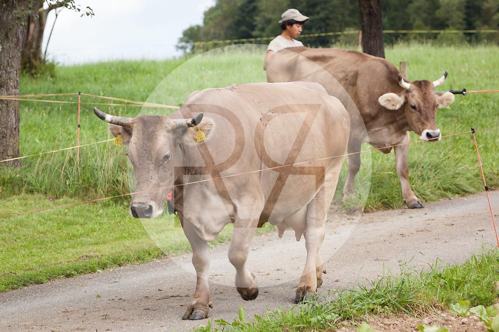 SCHWEIZ - MEISTERSCHWANDEN - Kühe der Rasse Braunvieh kommen von der Weide zurück - 14. August 2014 © Raphael Hünerfauth - http://huenerfauth.ch