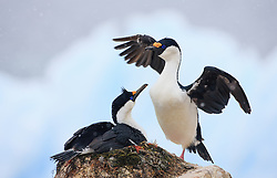 Antarctic Shag (Phalacrocorax atriceps) in Antarctica
