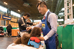 © Licensed to London News Pictures. 10/03/2016. Japanese dog owners groom their Toy Poodles in the dog benches area before a judging competition. Crufts celebrates its 12th anniversary as the Worlds largest dog show. Birmingham, UK. Photo credit: Ray Tang/LNP