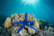 Blue Sea Star (Linckia laevigata)<br />