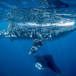 sardine run, mexico, yucatan, requin baleine, whale shark, Rhincodon typus, Manta birostris, raie manta, manta ray
