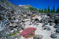 Rock Penstemon (Penstemon rupicola) at Treeline on Trail to Summit of Mt. St. Helens, Mt. St. Helens National Volcanic Monument, Washington, US
