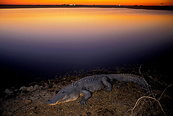 Stock photo of an alligator at sunrise.