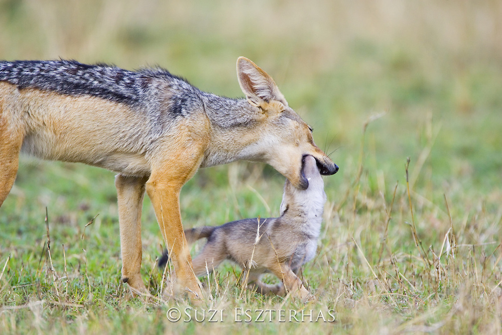 Black-backed Jackal<br /> Canis mesomelas<br /> Mouthing three week old pup<br /> Masai Mara Triangle, Kenya