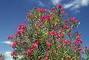 oleander flowers; against blue sky; shrub; Florida