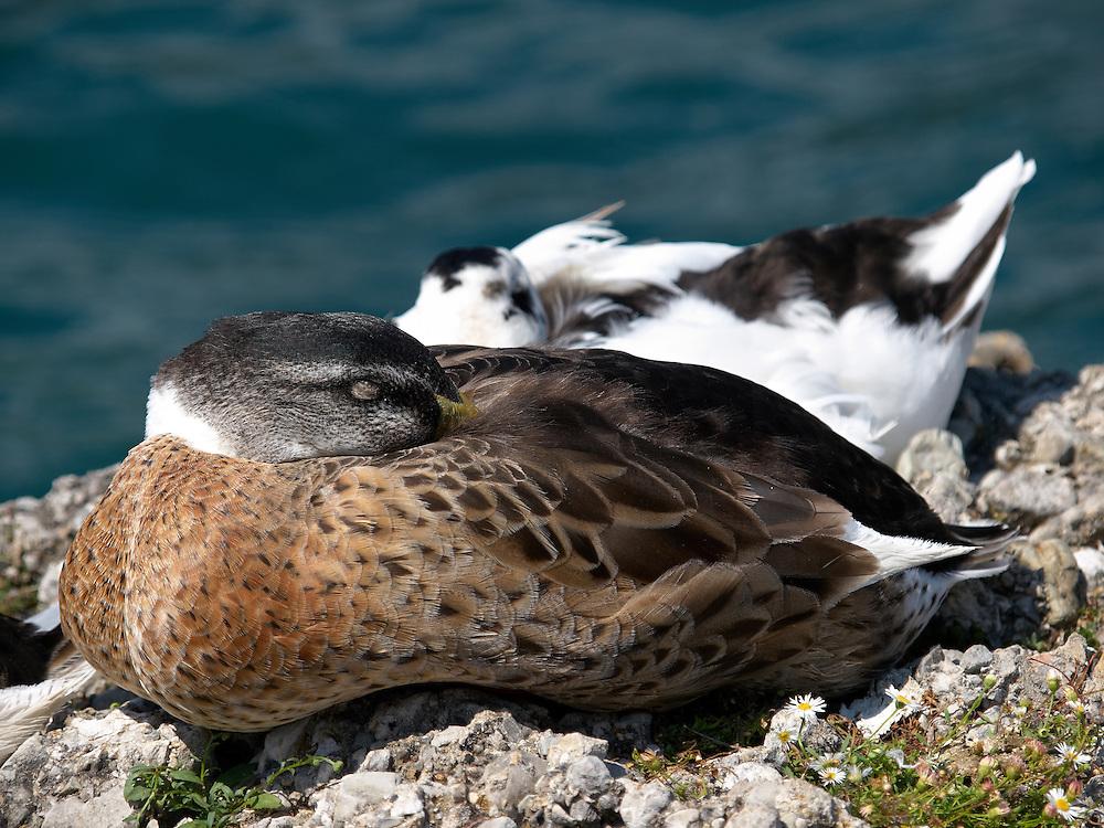 Italy - Garda lake - Sleeping ducks