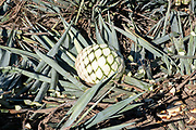 A blue agave pineapple-like core after being harvested sits waiting to be collected in a field owned by the Siete Leguas tequila distillery in the Jalisco Highlands of Mexico. Siete Leguas is a family owned distillery crafting the finest tequila using the traditional process unchanged since for 65-years.