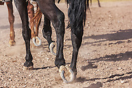 Closeup detail of horses running in a paddock.
