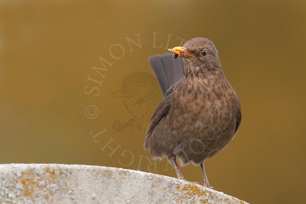European Blackbird (Turdus merula) adult female, UK