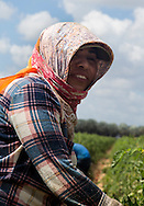 The city of Homestead, Florida, located south of Miami between Biscayne National Park to the east and Everglades National Park to the west its a major agricultural hotspot in the sunshine state, especially for migrant labor. At this 871,200 square feet tomato farm, undocumented workers keep showing up to work despite promises made by President Trump calling for massive deportations of undocumented aliens in the U.S. With temperatures that go beyond 90 degrees Fahrenheit and humidity levels above 80 percent, undocumented workers prowl the field with no uniform that identifies who they work for, or whose tomatoes are they picking up. Instead, they wear pieces of their own clothes in an improvised way to protect themselves from the sun as they carry red bins that get heavier as they prowl the field collecting tomatoes. This routine its repeated over and over until a 30-foot-long container its filled-up to capacity.
