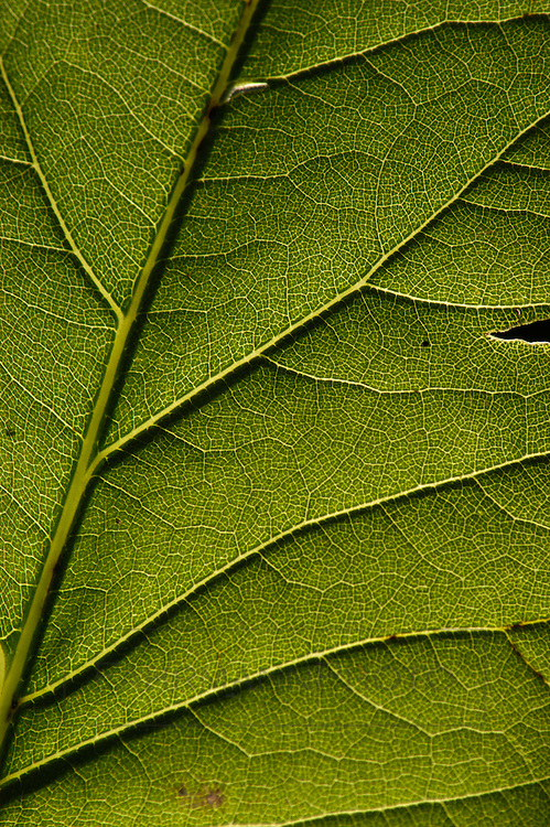 Very close view of the veins of the underside of a leaf
