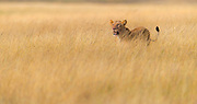 Lioness in the long savanna grass of Maasai Mara, Kenya.