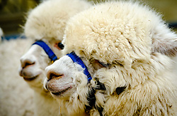 Lanark Scotland 15th April 2017:  The Second Scottish Alpaca Championship, organised by the Scottish Alpaca Group, took place on Saturday 15th April 2017 at Lanark Auction Market. The event had a record entry of 140 alpacas being shown and judged.<br /> <br /> Alpacas in the holding pens waiting their turn in the show ring.<br /> <br /> (c) Andrew Wilson   Edinburgh Elite media