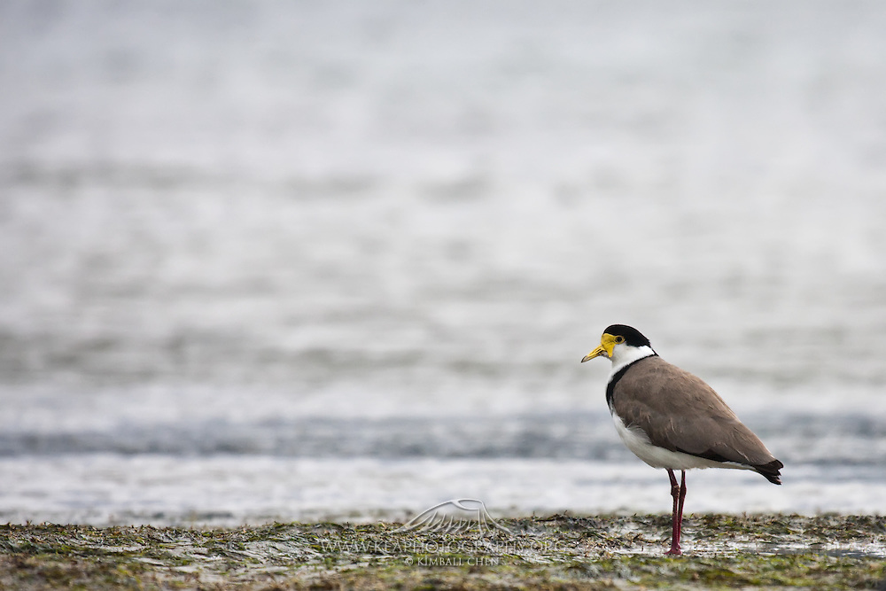 the first two masked lapwings recorded in New Zealand were in Invercargill in 1932.  Since then, they have become widespread throughout New Zealand.