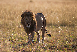 A male lion silhouette in tall grass (Panthera leo), Masai Mara, Kenya