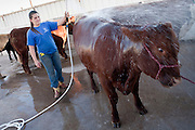 14 OCTOBER 2008  -- PHOENIX, AZ: Jessika Lewis, 13, from Mesa, AZ, washes her Red Angus heifer at the Arizona State Fair. The Arizona State Fair started Oct.  10 and runs through Nov. 2. Carnival and midway workers who have worked the fair for years say attendance so far is much lower than in the past and people at the fair this year aren't spending as much money as they have in the past. PHOTO BY JACK KURTZ
