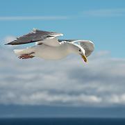 Seagull gliding. Border U.S.A.-Canada
