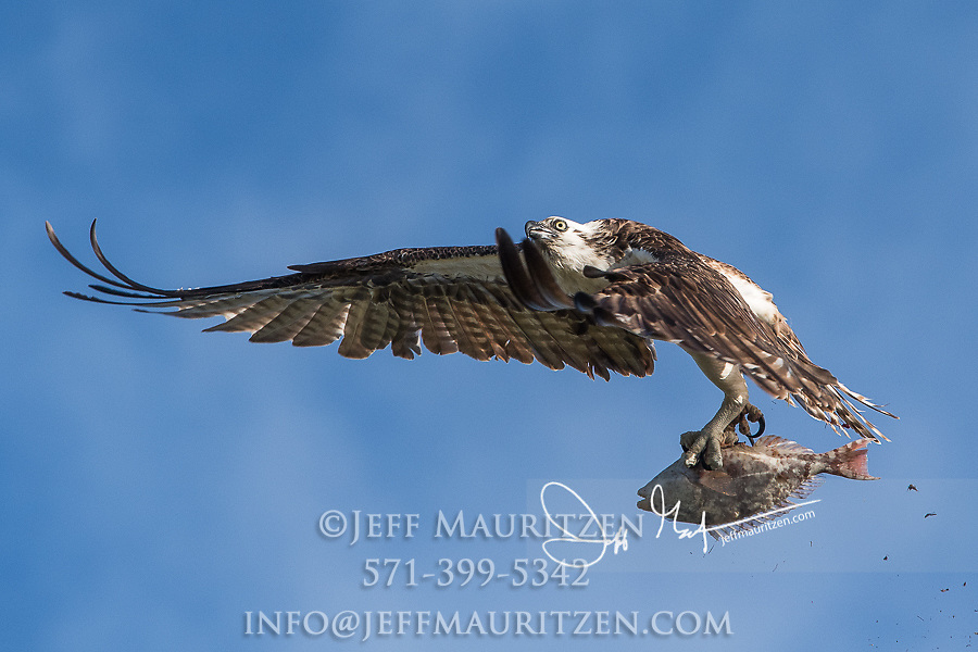An osprey in flight, holds onto its recent catch, a parrotfish.